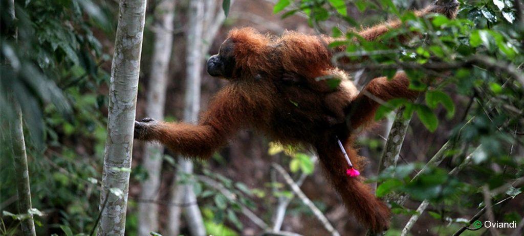 rescueing-orangutan