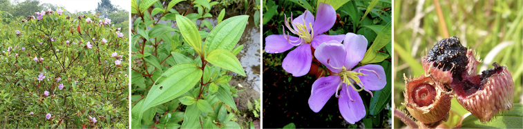 Pioneer Melastomaceae Melastoma Malabathricum