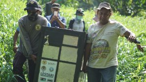 Pungut helped the HOCRU team to carry orangutan in the cage to be released back to the wild on translocation process