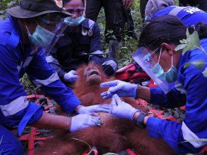 Sofi was evacuated through a safe tranquilization process